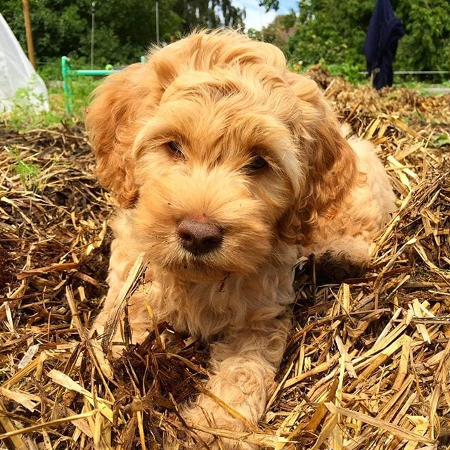 angelica's farm whey puppy