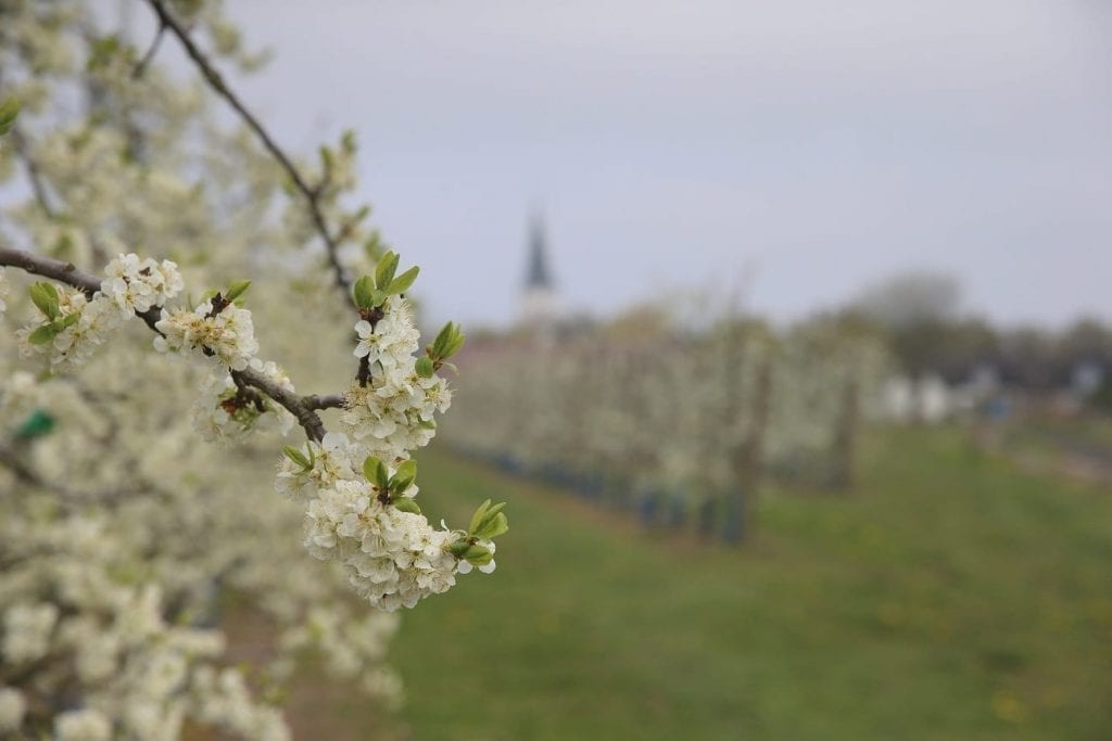 Apple trees bloom in Mellby.