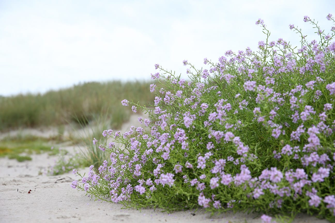 now the mustard is blooming on the beach österlen.se