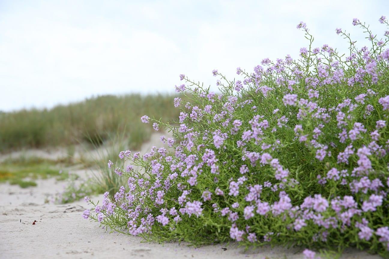 nu blommar senapen pa stranden österlen.se