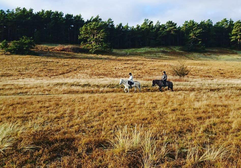 Österlens Tölth horses 7